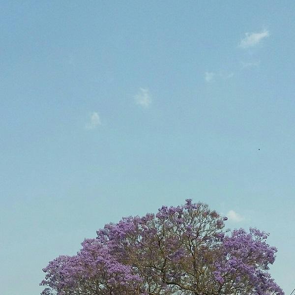jacaranda-1-oct-2016