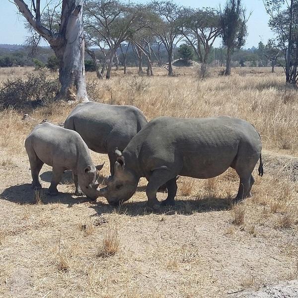 vimfromzim-imire-black-rhinos
