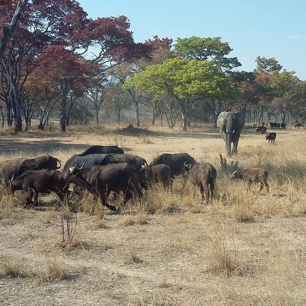 vimfromzim-imire-elephant-buffalo