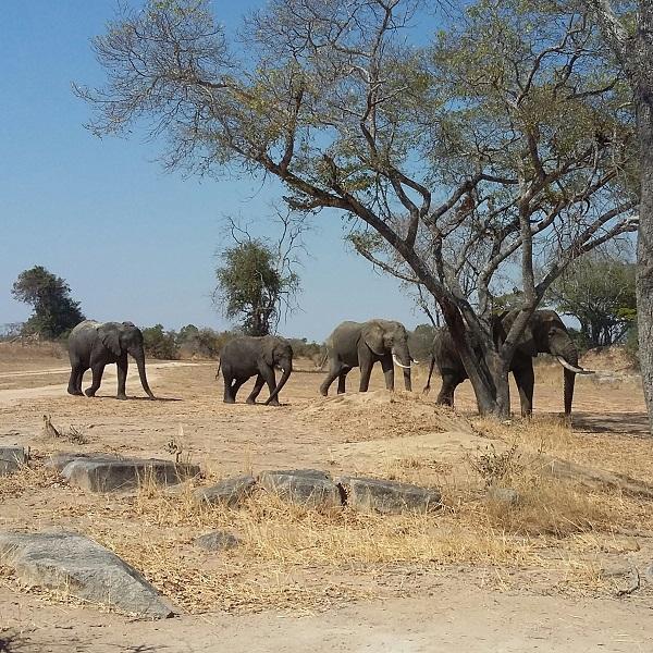 vimfromzim-imire-elephants