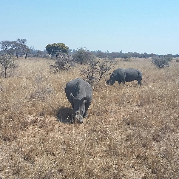 vimfromzim-imire-white-rhinos